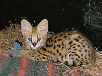 Serval Ears