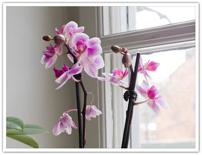 Rosa orkidé