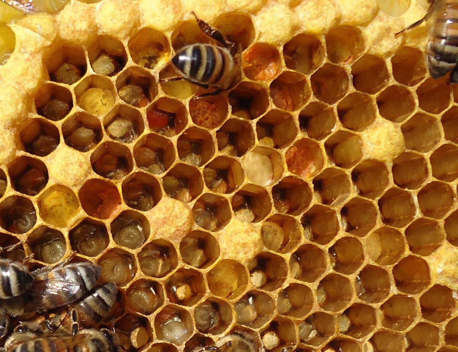 Long Beach Beekeepers: Bee Anatomy at the Bee Club Meeting 2/3