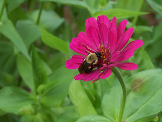 bumblebee sitting on fuschia colored zinnia