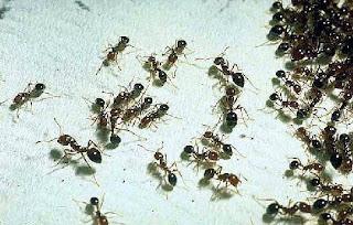 Muchas hormigas juntas