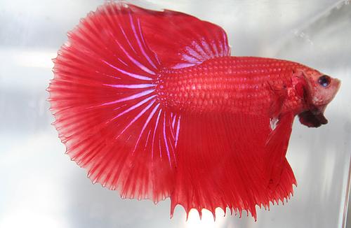 Shamudra bilash betta gourami fish for Pink betta fish