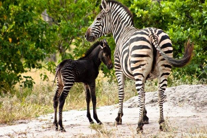 http://4.bp.blogspot.com/-8W-YLKas8t8/U2aweqcFBXI/AAAAAAAA870/bTlNiD3kmI0/s1600/newborn+zebra+in+the+north-western+area+of+the+Okavango+Delta..jpg