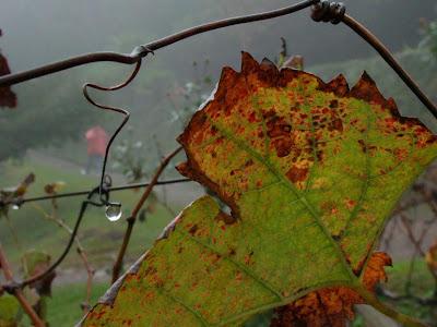 Folha seca e gota de chuva - parreiral