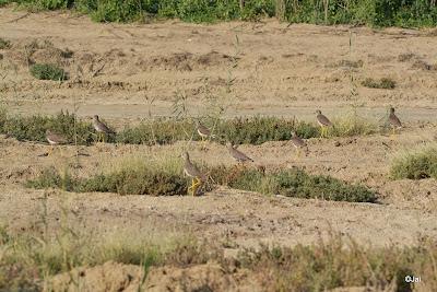 White-tailed Lapwing @ Dubai Pivot Field