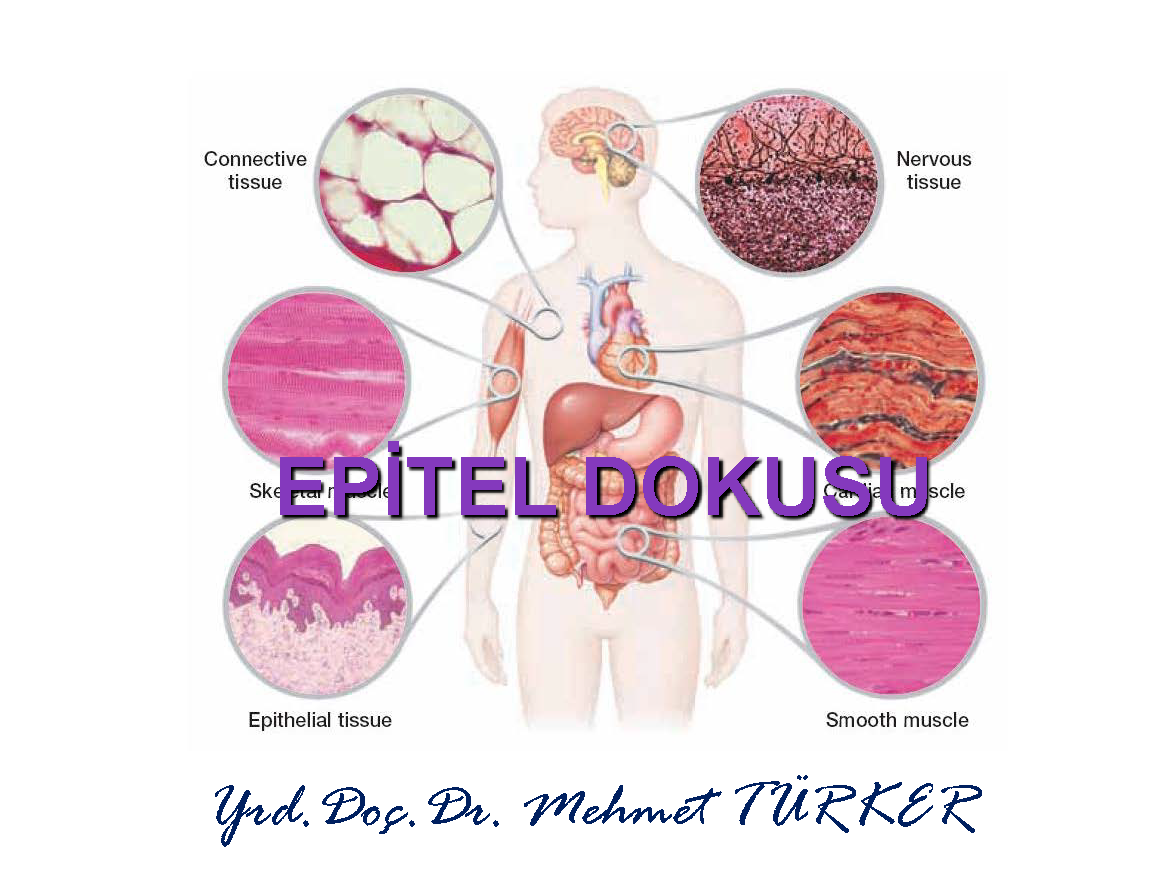 60376451231655014 additionally Circulatory System Of Cattle Illustration Captain Wonder moreover Famous People Narcolepsy likewise Cardiovascular further Human Organ Placement Chart Human Anatomy Chart Internal Organs Azed   2. on blood circulatory system