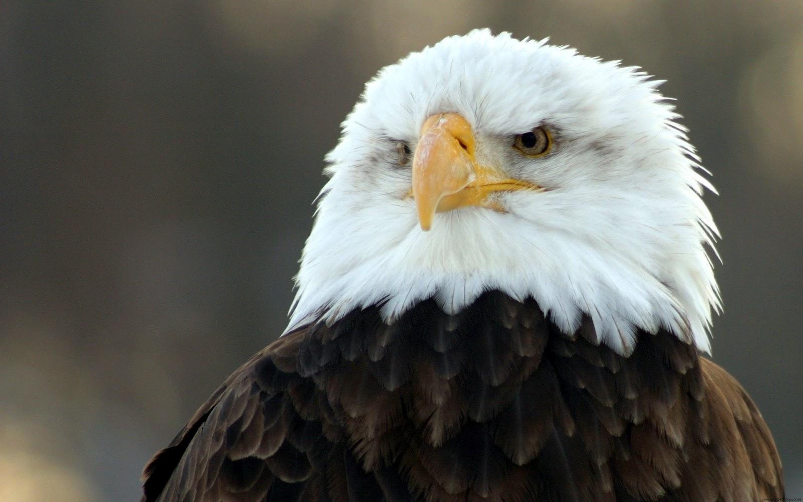 http://4.bp.blogspot.com/-8WMvhuoyVb4/UDbEiiLlynI/AAAAAAAAEMQ/D-cFEN4iOw8/s1600/Bald+eagle.jpg