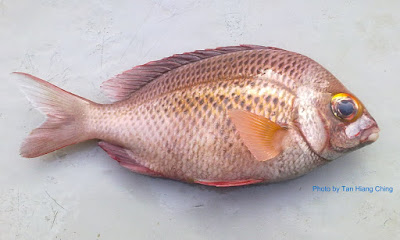 Whitecheek Monocle Bream