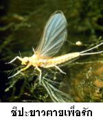 แมลงชีปะขาว ตายเพื่อรัก