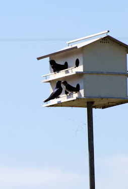 Purple Martins, at House
