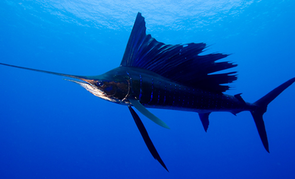 Sailfish vs marlin - photo#22