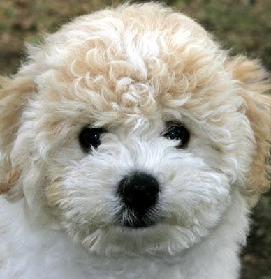 Bichon Frise Puppy Picture