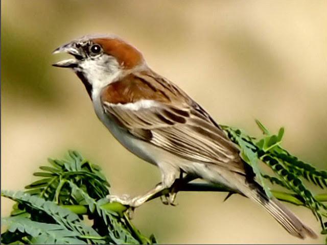 Sind-Sparrow-Passer