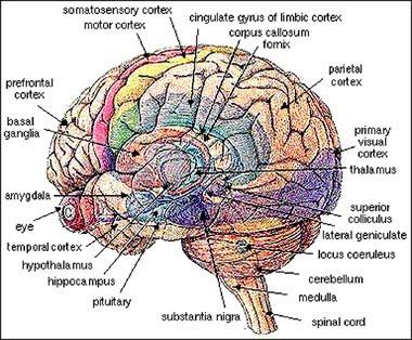 The x spot june 2012 diagram of a human brain ccuart Gallery