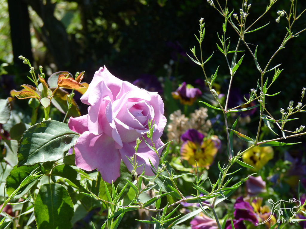 Le jardin de triton charles de gaulle - Deplacer un rosier ...