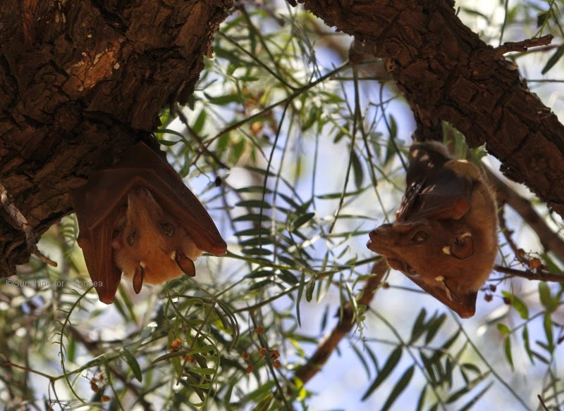 Epauletted Fruit Bat haning in a tree
