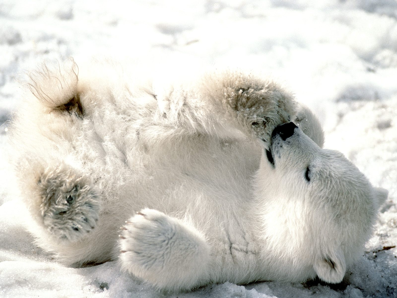 http://4.bp.blogspot.com/-8XvgjQsSgjM/Tk6QYGQ6WcI/AAAAAAAADYY/lgF_0yKCv64/s1600/Playful+Baby+Polar+Bear.jpg