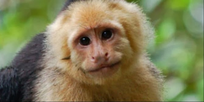 Monyet Capuchin