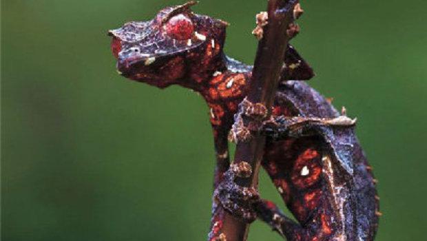 Setan Daun Gecko Ekor