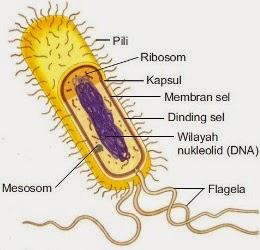 Struktur Sel Prokariotik
