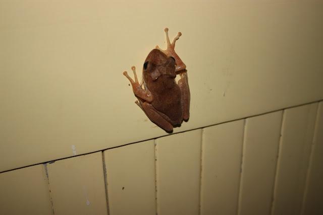 Лягушка в Гоа