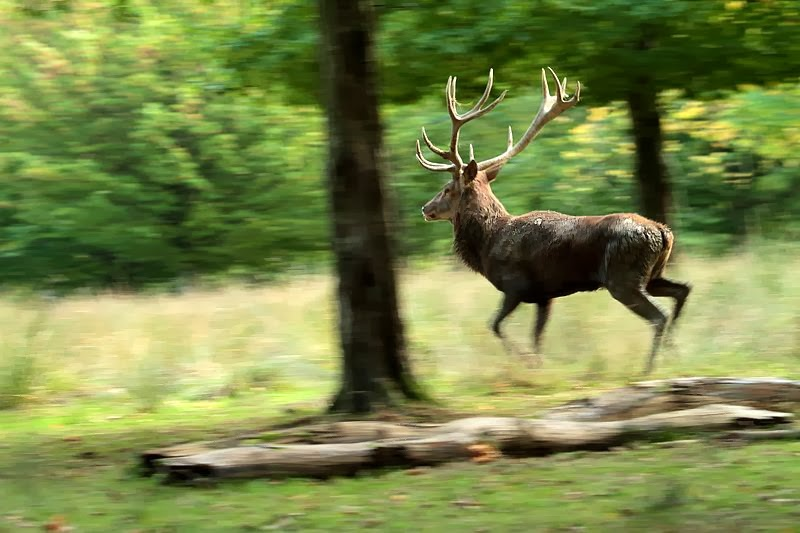 Vers le vent un grand cerf for Dans la foret un grand cerf regardait par la fenetre