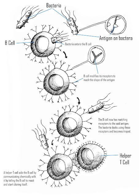 katy j negus  ba hons  cg arts  u0026 animation  more in depth diagram of the production of antibodies