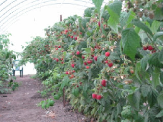 Raspberries in high tunnel.