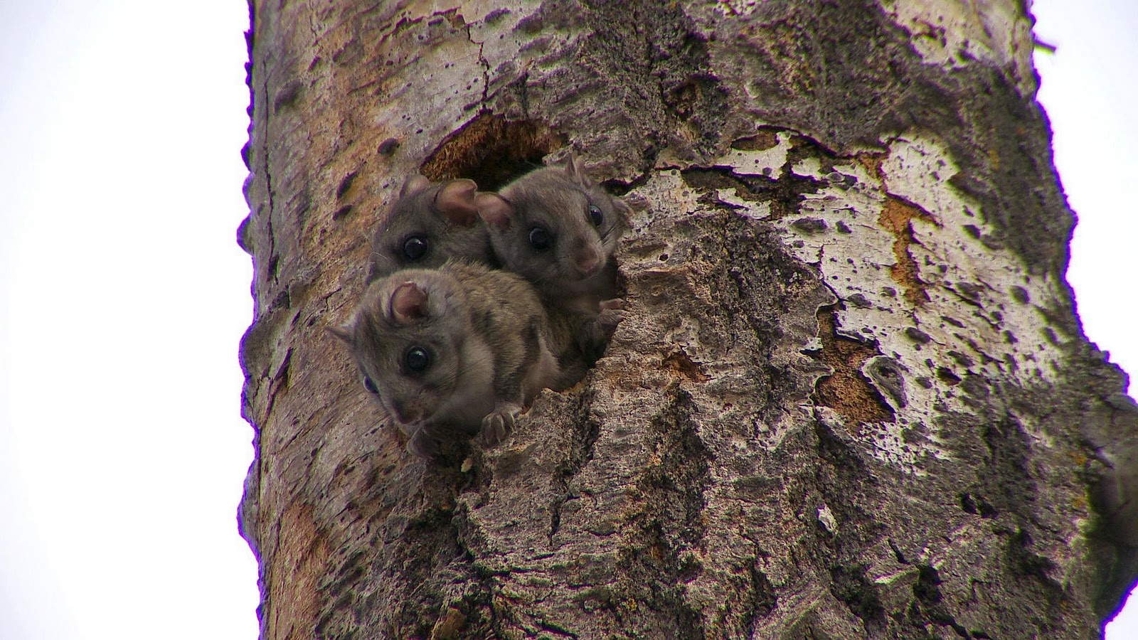 Southern flying squirrel nest