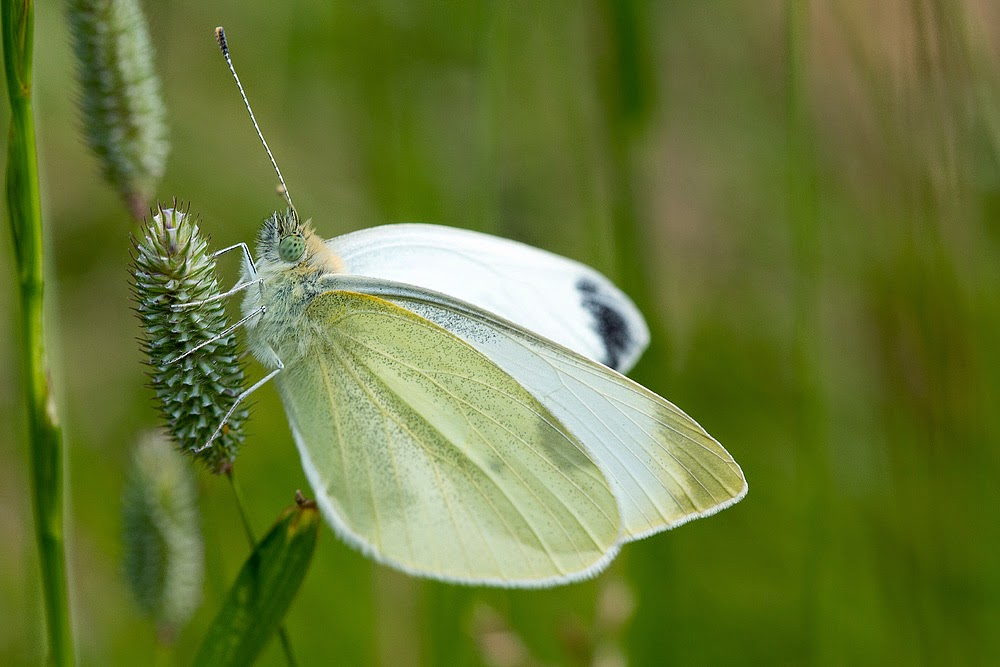 Large White - Loughton Valley Park, Milton Keynes