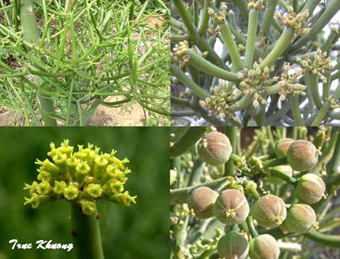 TỨ TUYỆT HOA 2 - Page 4 Euphorbia+tirucalli+1234