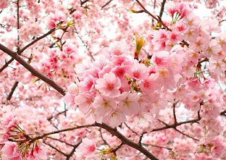 Foto Bunga sakura khas jepang