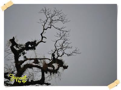 pohon besar di alun alun kota martapura