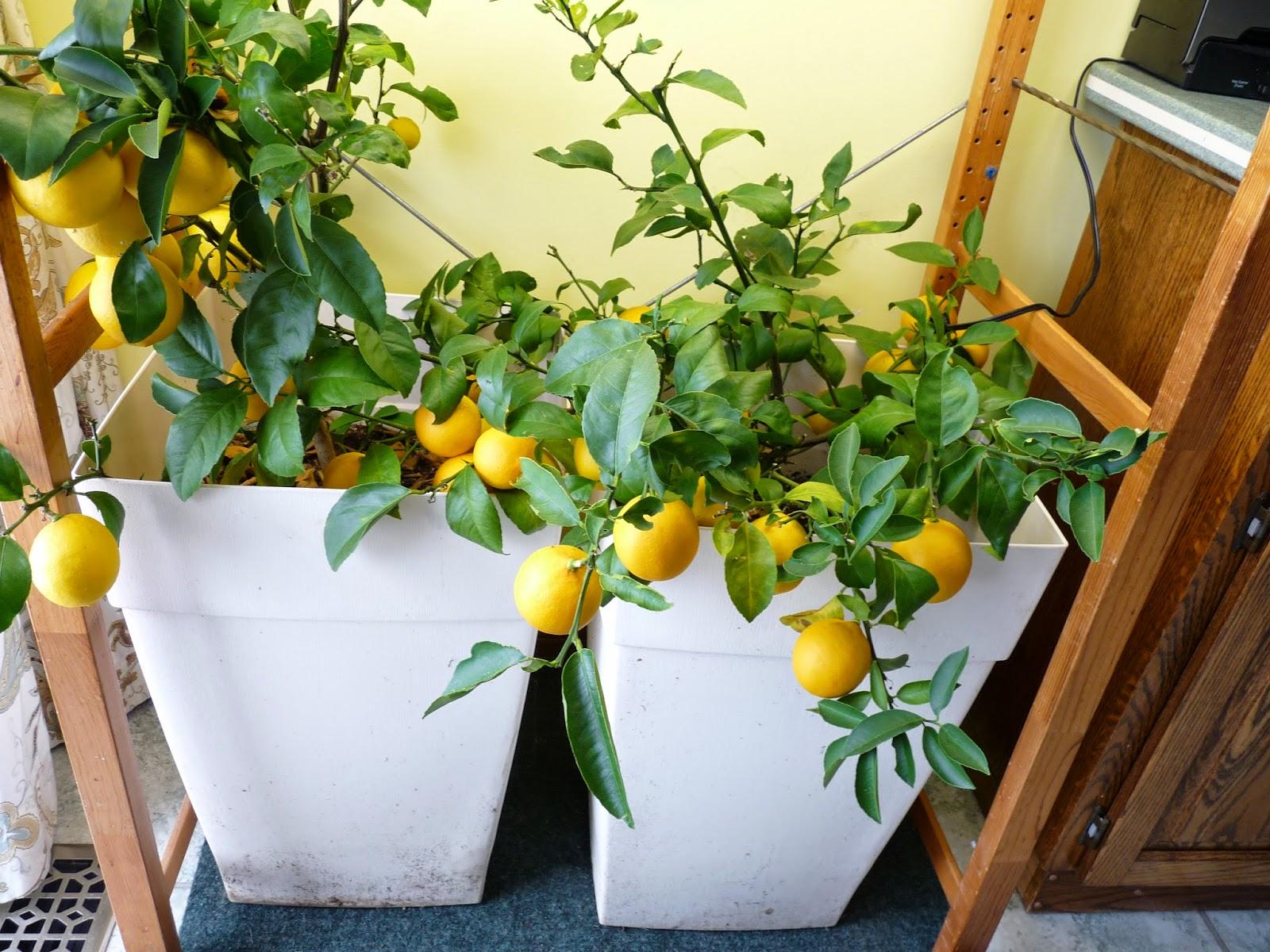 My Meyers lemon trees wintering indoors