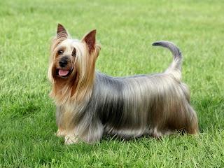 Terrier sedoso australiano