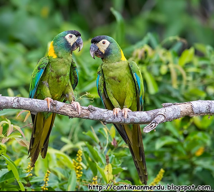 budidaya burung burung macaw yang sangat cantik dan macam
