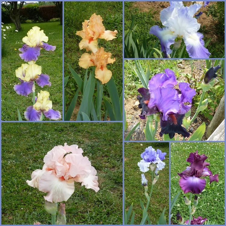 couleurs  IRIS  du  jardin