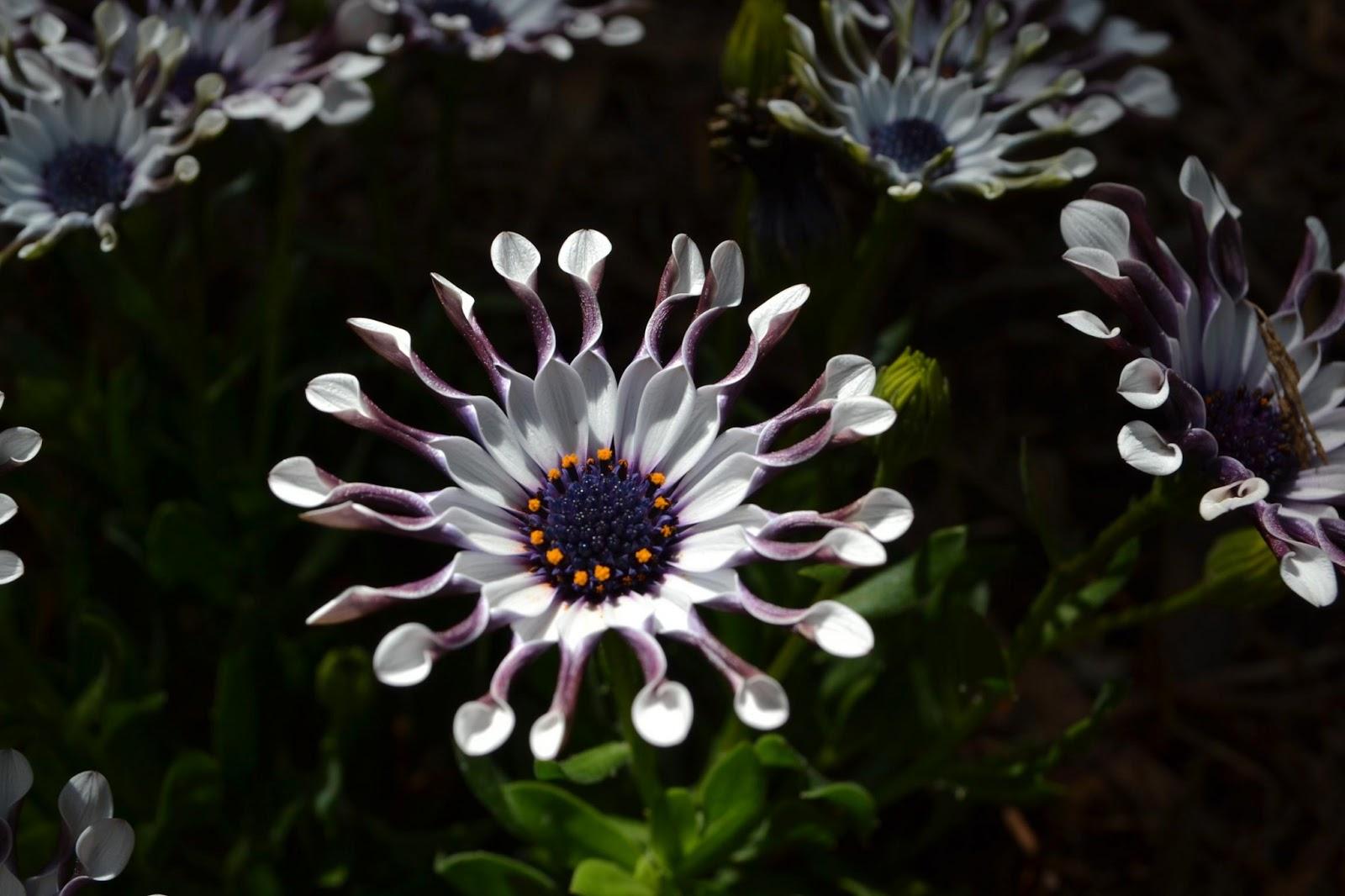 Vita a san diego 1092 il giardino si evolve for Margherita pianta