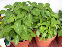 pianta allucinogena