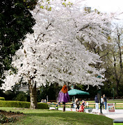 Red Hair and White Tree. The white blossoms of this cherry tree, .