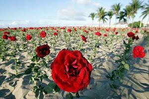 """""""As rosas não falam..."""