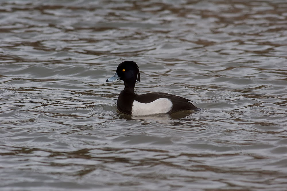 Male Tufted Duck, Lodge Lake, Milton Keynes