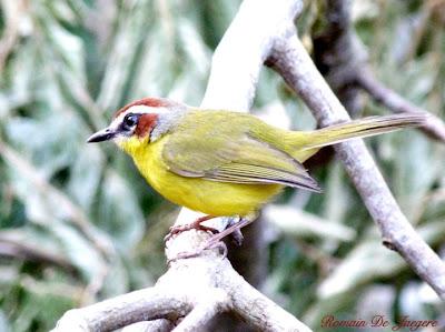Chestnut-capped Warbler Basileuterus rufifrons delatrii birdwatching Nicaragua