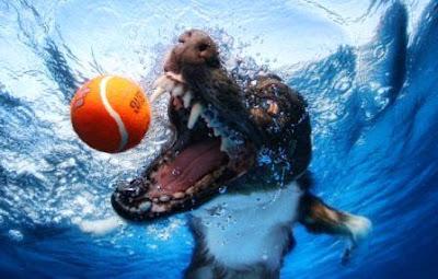 Fotografías de Perros (que parecen) furiosos jugando bajo el agua.