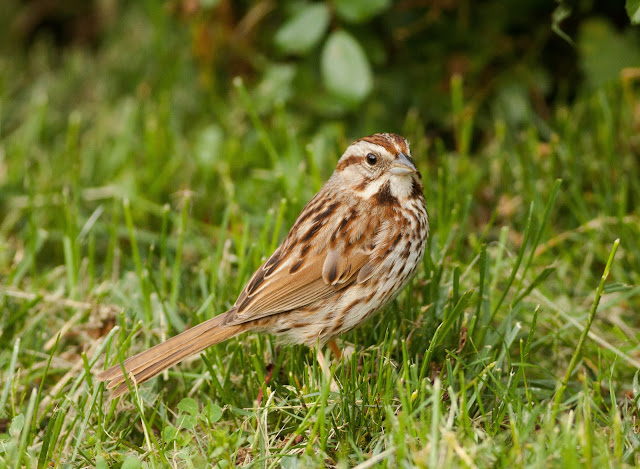 Song Sparrow - Central Park, New York