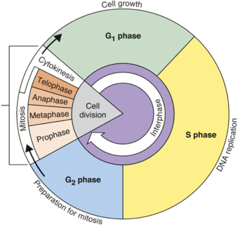 Biology diagramsimagespictures of human anatomy and physiology cell cycle ccuart Image collections