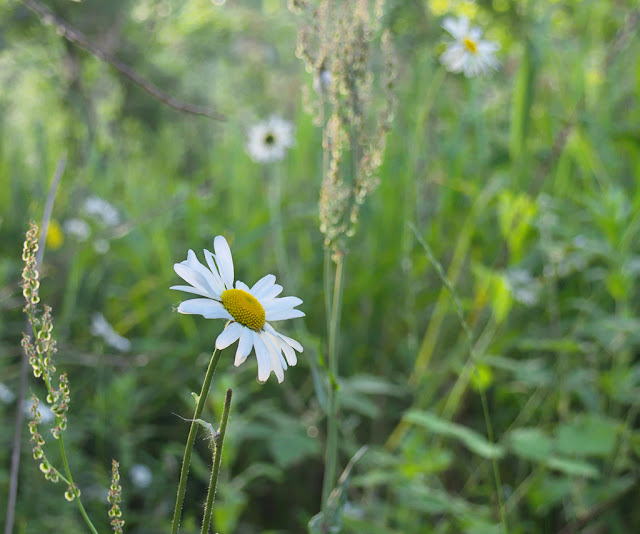 Single flower of dog daisy in focus in surrounding out of focus vegetation