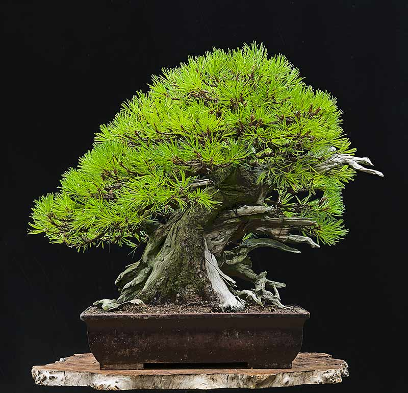walter pall bonsai adventures mugo pine 5. Black Bedroom Furniture Sets. Home Design Ideas