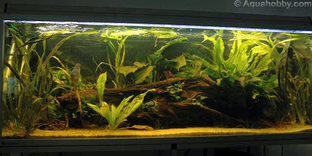 Amazon aquarium biotope aquascaping peru for Amazon aquarium fish