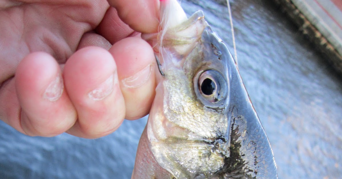 Rhode island striped bass blanked on jan 1 for Striper fishing ri